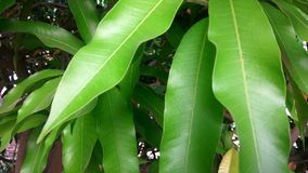 Mango tree branches. A still of green mango leaves and branches Stock Photography