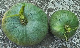 Still green pumpkins, early harvested Royalty Free Stock Images