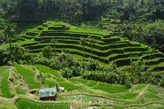 Tegallalang Rice Terrace in Ubud royalty free stock photography