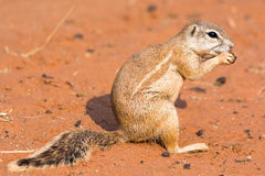 Still of a ground squirrel Stock Image