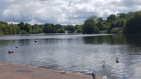 Still lake on a summers day. With geese and ducks and their young Stock Photography