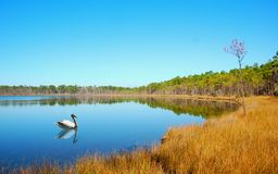 Still Lake and Water Fowl Stock Image