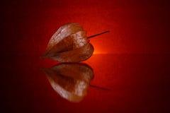 Still life #6. Still life. Physalis in red Stock Photo