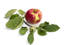 Still life apple and a branch of an apple-tree, the isolated ima Royalty Free Stock Photos