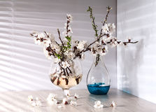 Still life with apricot blossom Royalty Free Stock Images
