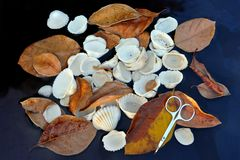 Still-life from autumn dry brown leaves, former oval sea shells and small metal seriferous scissors in the lower right corner. Still life from autumn dry brown Stock Images