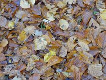 Still life of autumn leaves. Colorful composition with different types of leaves royalty free stock photography