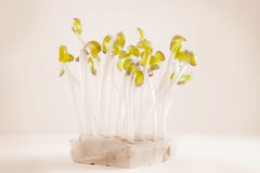 Still life,bean sprouts Stock Images