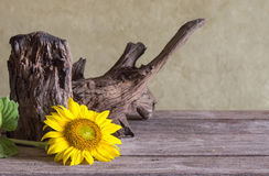 Still life beautiful sunflowers Royalty Free Stock Images
