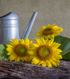 Still life beautiful sunflowers. In nature light Royalty Free Stock Images