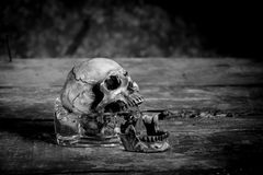 Still life black and white photography with human skulls on wood. Table stock images