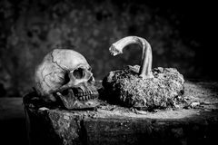 Still life black and white photography with human skulls on wood. Table royalty free stock photography
