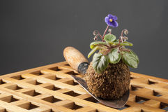 Still life with blooming violet and garden shovel Royalty Free Stock Photo