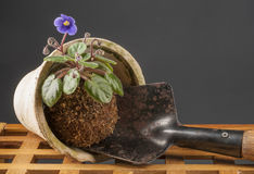 Still life with blooming violet and garden shovel Stock Images