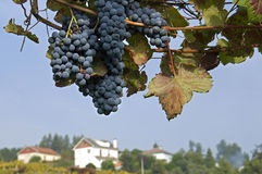 Still life of blue bunches grapes, rural landscape Royalty Free Stock Photo