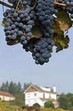Still life of blue bunches grapes, rural landscape Stock Photography