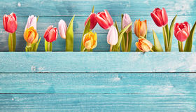 Still life border of colorful fresh spring tulips Royalty Free Stock Photography