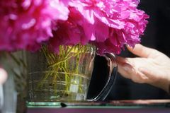 Still life bouquet purple peony human hand water glass reflection indoors close-up old mirror sunlight summer. Day indoors close-up glass water old mirror human Royalty Free Stock Image