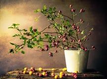 Still Life branches hawthorn plums Stock Photos