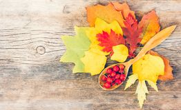 Still life of bright autumn leaves and hips of wild rose in a wooden spoon on an old wooden knotty cracked board Royalty Free Stock Photography