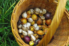 Still life of busket onion and garlic Stock Images