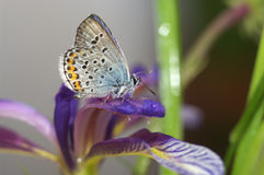 Still life with butterfly and  orris Stock Images