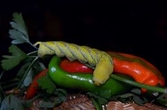 Still life with a caterpillar and hot pepper Royalty Free Stock Images