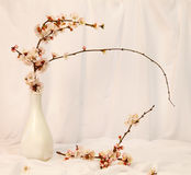 Still life with cherry tree flowers Royalty Free Stock Images