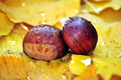 Still life of chestnuts and leaves in autumn Stock Image