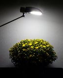 Still life with chrysanthemum. At spot ligting Stock Photos