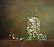 Still life with cloche with flowering branches Royalty Free Stock Images
