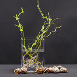 Still life composition with willow branches with small leaves and pink roots in a transparent vase and snail shells Stock Image