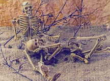 Still life concept human body bone male and female sit on dry b. Ranches with old cobweb and flower of moke indicate love forever Royalty Free Stock Image