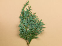 Still Life of a Conifer Tree Branch. Still Life of an Evergreen Conifer Tree Branch stock photo