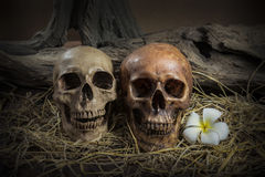 Still life couple human skull with Plumeria Flower and hay Stock Image