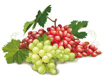 Still life of different varieties of grapes Royalty Free Stock Image