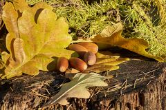 Still life with few brown acorns, bright oak leaves and fir branches on old stump. Autumn colorful still life with few brown acorns, bright oak leaves and fir royalty free stock images