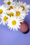Still-life from flowers. Chamomile flowers on a lilac background close up Stock Photography