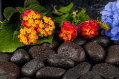 Still life with flowers and black stones. ю Stock Image