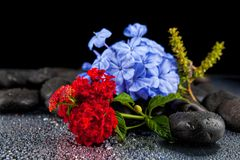 Still life with flowers and black stones . Still life with flowers and black stones Stock Photos