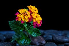 Still life with flowers and black stones.  Royalty Free Stock Images