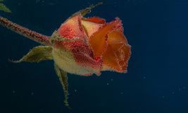 Still life flowers under water. stock image