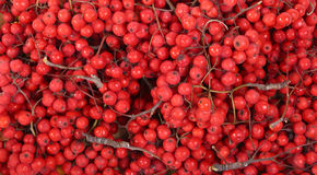 Still-life with fresh natural red rowan berries Royalty Free Stock Photos