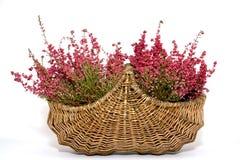 Still life heath. Basket full of heath with white background Stock Photo