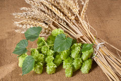 Still life with hop cones Stock Image