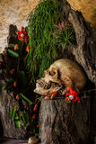 Still life with a human skull with desert plants, cactus, roses. And dried flowers in a vase beside the timber Stock Photography
