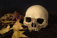 Still life human skull and maple leaf Stock Image