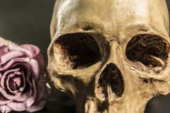 Still life human skull with roses over dark background. Still life painting photography with close up human skull and roses over dark background, love concept royalty free stock photo