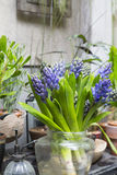 Still life with Hyacinth around Cactus and succulents collection Royalty Free Stock Images