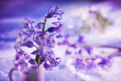 Still life with hyacinth flower in violet Stock Photo
